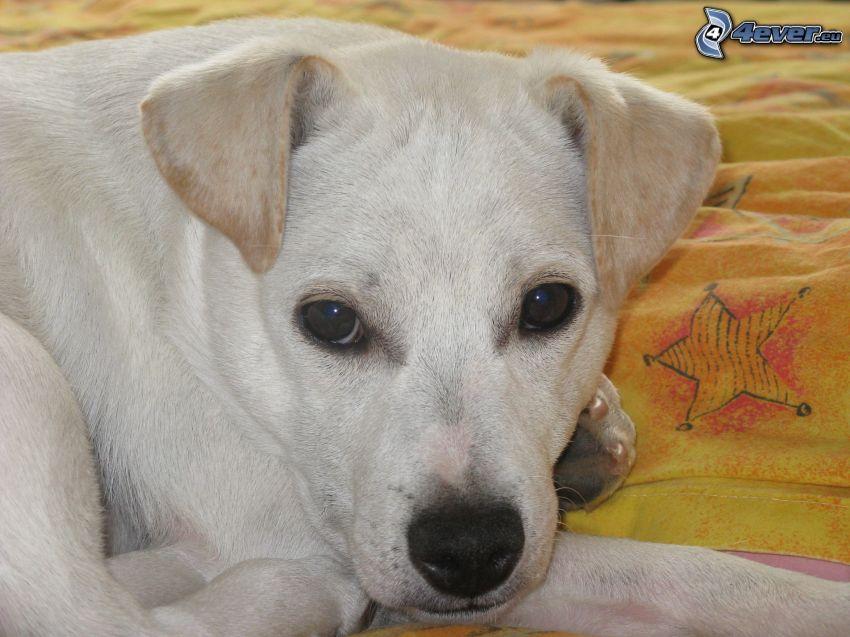 pies, łóżko, psie spojrzenie