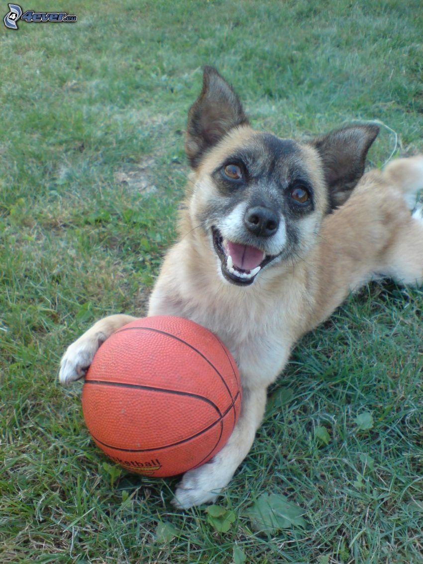 pies, piłka, trawa