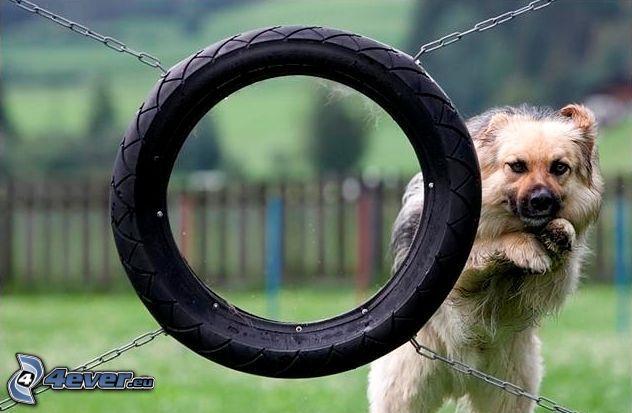 pies, przeszkoda, skok
