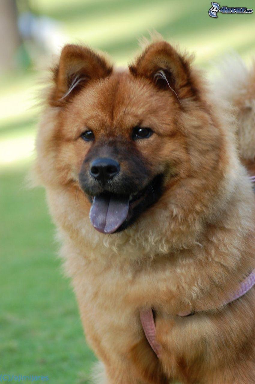 pies chow-chow, język