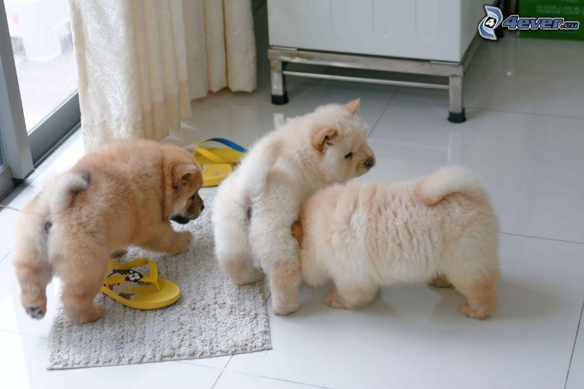 pies chow-chow, podłoga