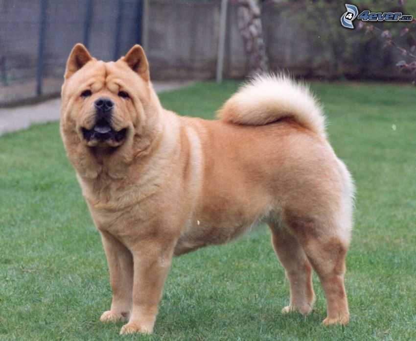 pies chow-chow