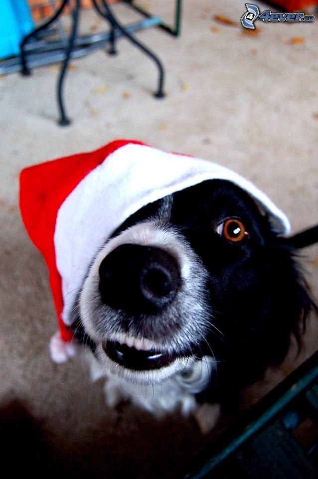 pies coli, czapka Świętego Mikołaja
