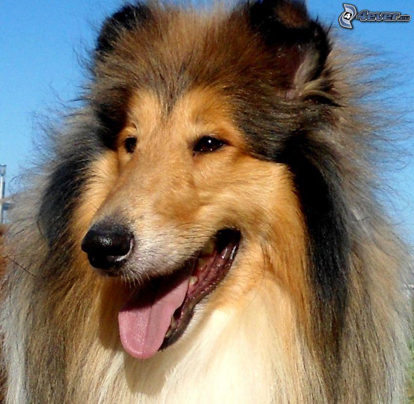 pies coli, język