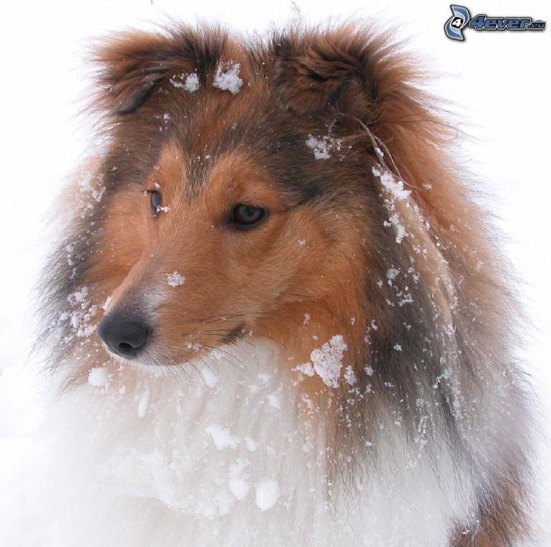 pies coli, śnieg