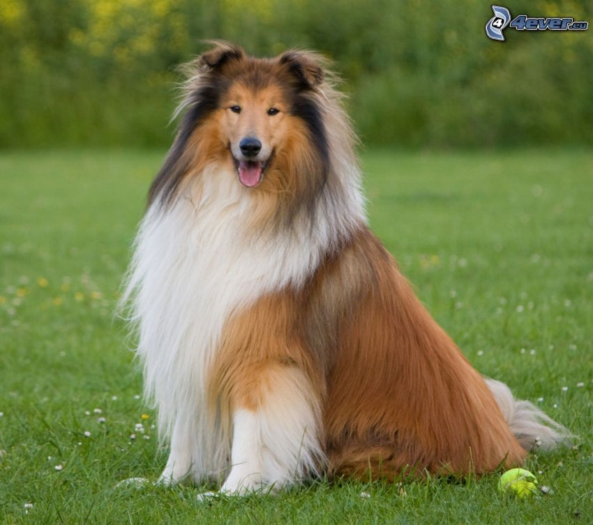 pies coli, trawnik, piłeczka tenisowa