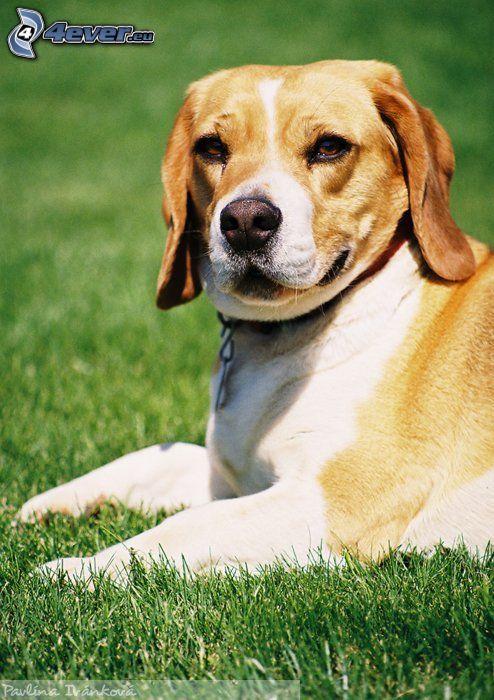 Pies gończy, pies na trawie