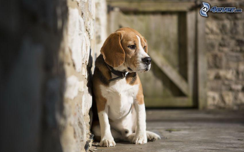 Pies gończy, smutny pies, mur