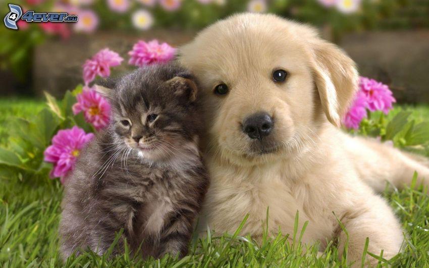 pies i kot, szczeniak labradora, trawa, różowe kwiaty