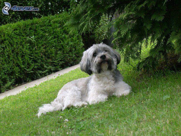 pies maltański, pies na trawie, krzak