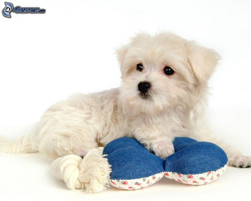 pies maltański, poduszka