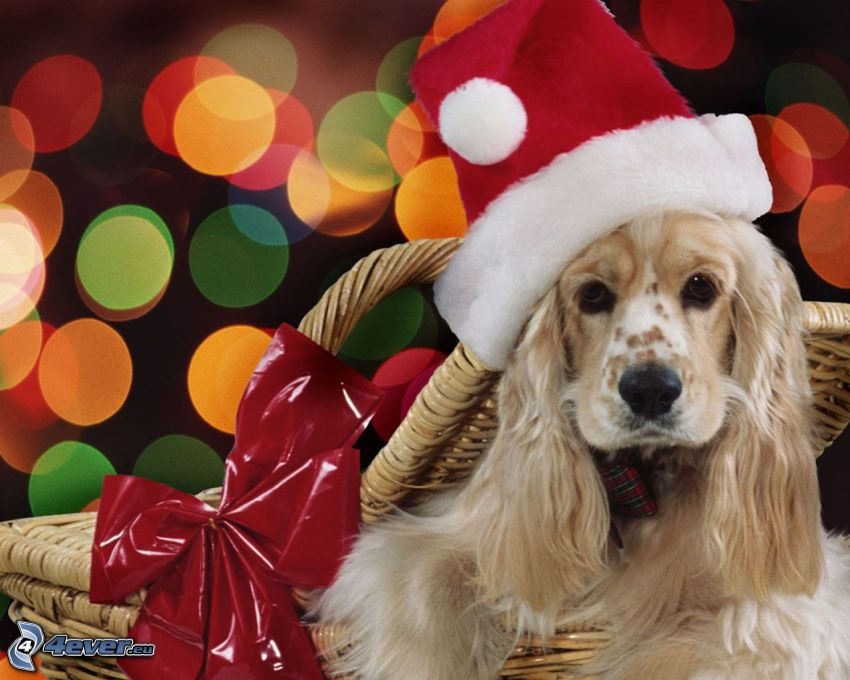 pies w koszyku, czapka Świętego Mikołaja