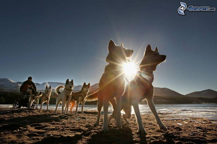 psi zaprzęg, Syberian husky, promienie słoneczne
