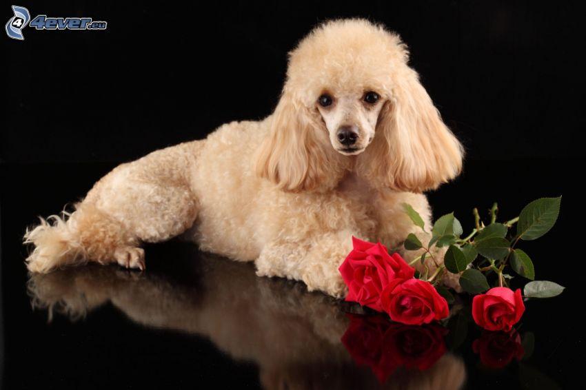 pudel, czerwone róże
