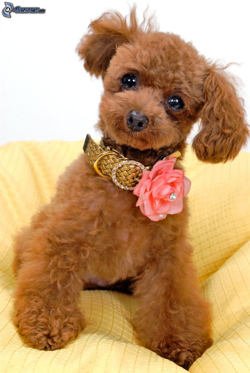 pudel, pomarańczowa róża, obroża, psie spojrzenie
