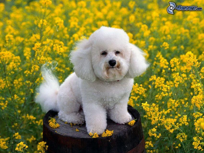 pudel, rzepak, beczka, biały pies