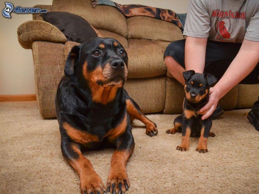 rottweiler, sofa, szczeniak