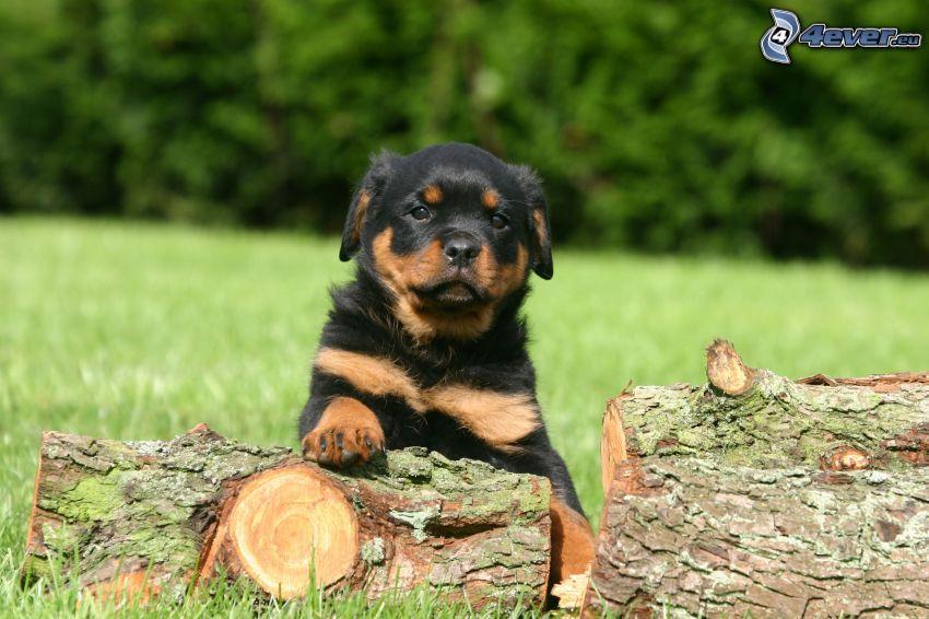 rottweiler, szczeniak, łąka