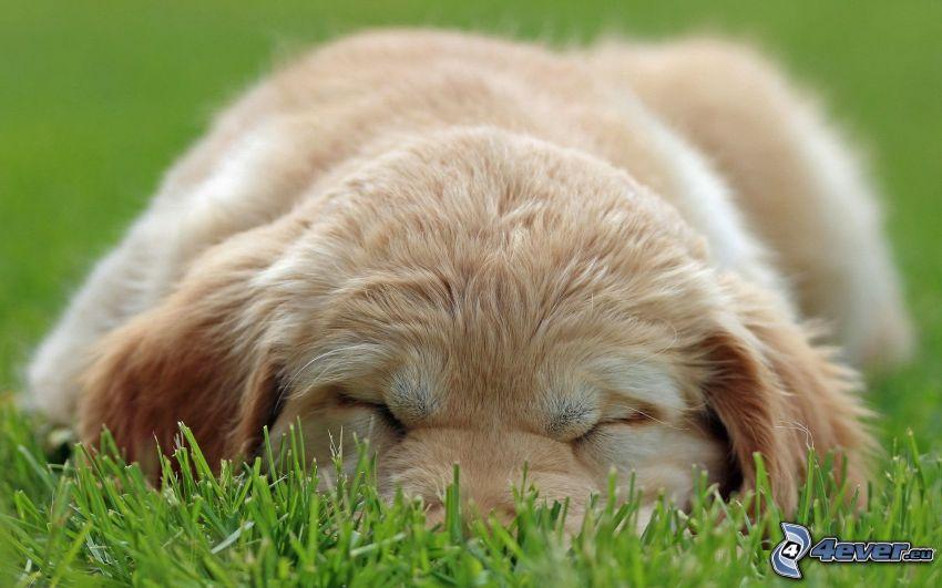 śpący szczeniak, szczeniak w trawie