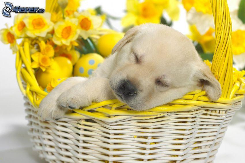 śpiący pies, szczeniak, koszyk, żonkile