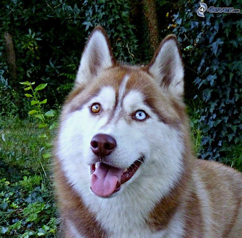 Syberian husky, język