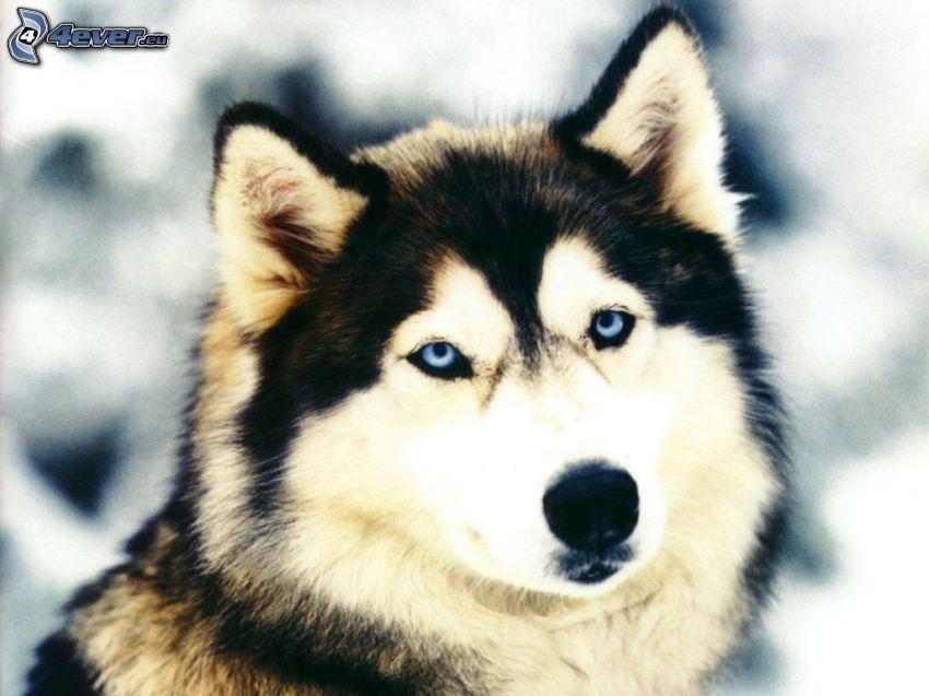 Syberian husky, niebieskie oczy