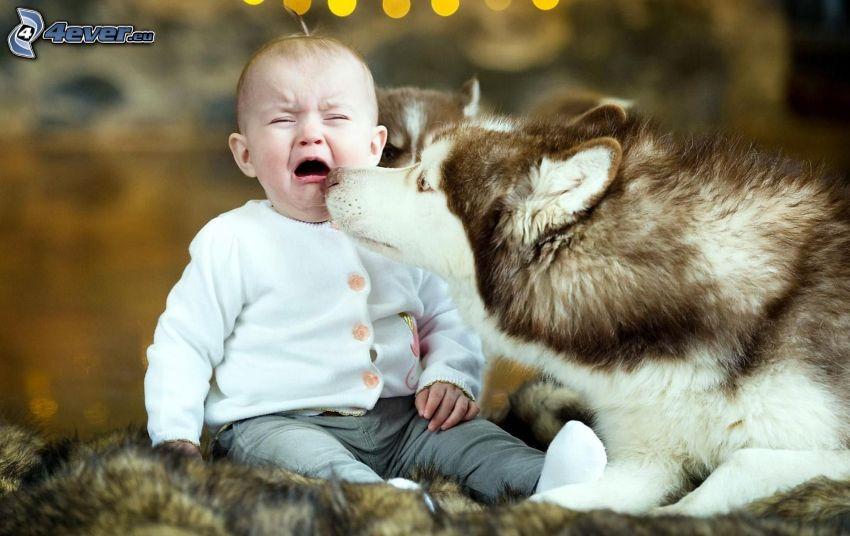 Syberian husky, niemowlę, płacz