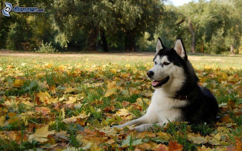 Syberian husky, opadnięte liście, trawa