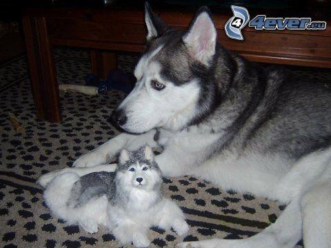 Syberian husky, pluszowy pies