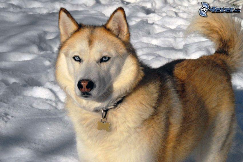 Syberian husky, śnieg, niebieskie oczy