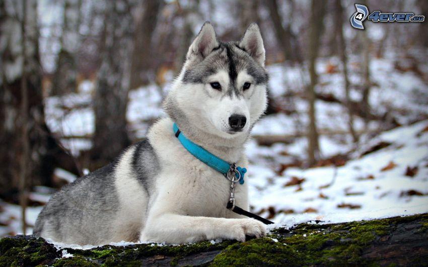 Syberian husky, zaśnieżony las