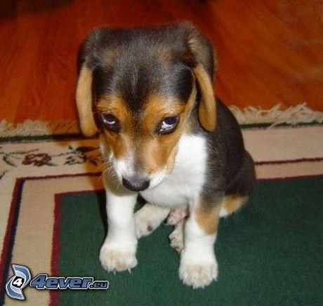 szczeniak beagla, smutny pies, psie spojrzenie