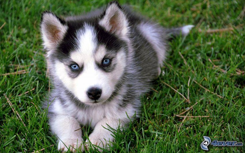 szczeniak Husky, niebieskie oczy, szczeniak w trawie