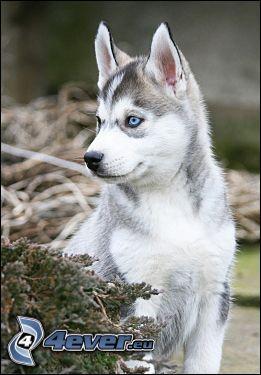 szczeniak Husky, niebieskie oczy