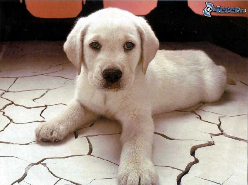 szczeniak labradora, podłoga, białe szczenię