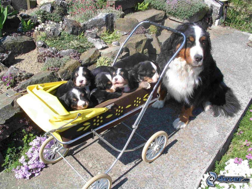 szczeniaki Berneńskiego psa, berneński pies pasterski, wózek