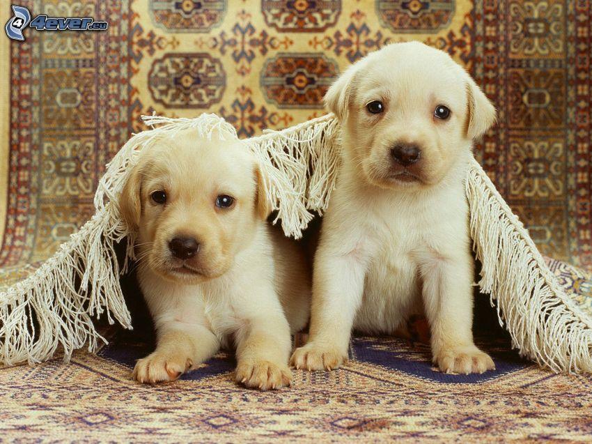 szczeniaki Labradora, dywan