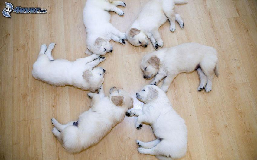 szczeniaki Labradora, spanie, krąg, podłoga