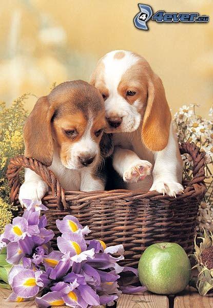 szczeniaki rasy beagle, psy w koszyku, martwa natura, kwiaty, jabłko
