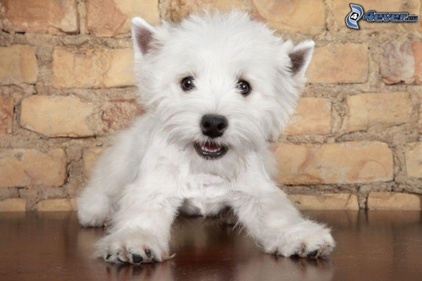 terier, mały biały szczeniak, ceglany mur