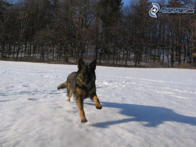 wilczur, pies na śniegu, las