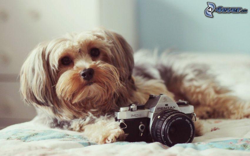 Yorkshire Terrier, aparat fotograficzny, pies na łóżku