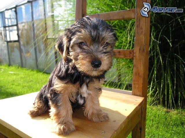 Yorkshire Terrier, krzesło, ogród