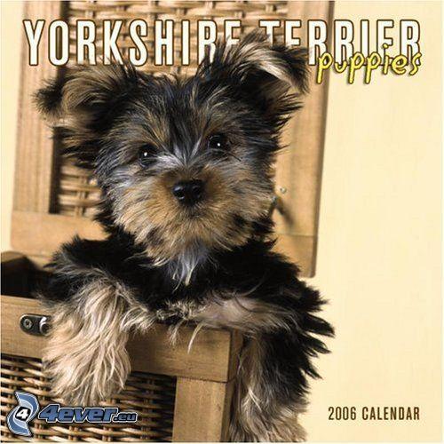 Yorkshire Terrier, pies w koszyku