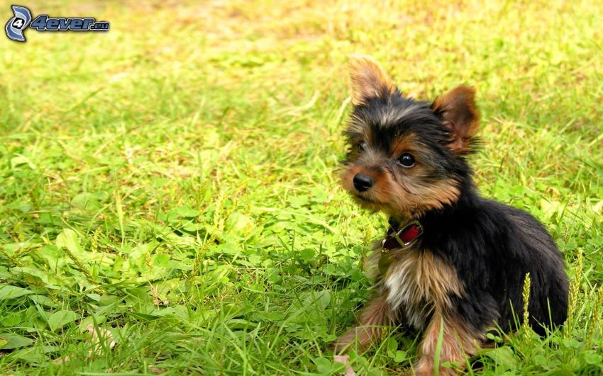 Yorkshire Terrier, trawa