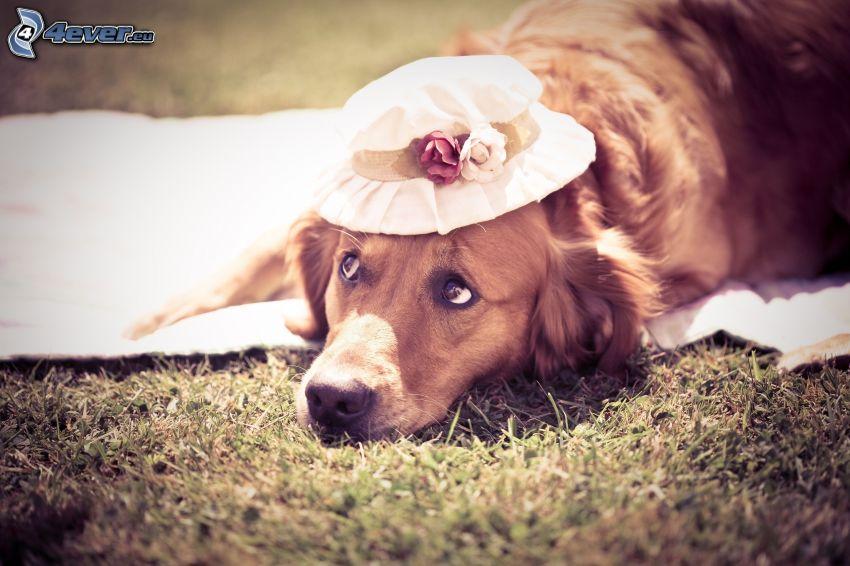 złoty retriewer, kapelusz, psie spojrzenie
