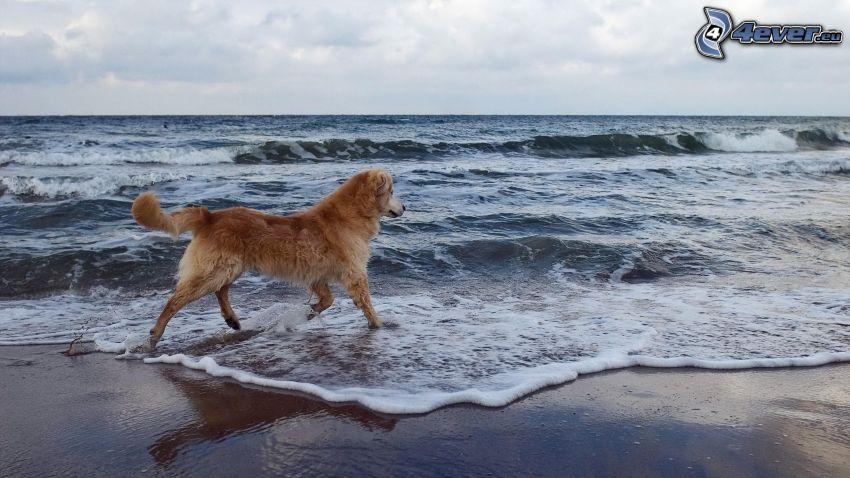 złoty retriewer, morze