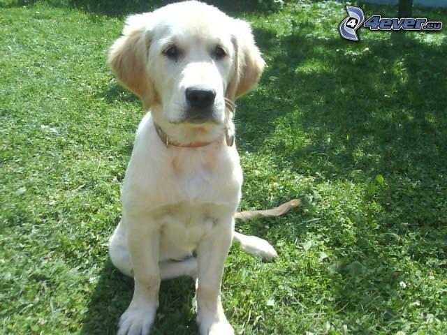 złoty retriewer, pies na trawie