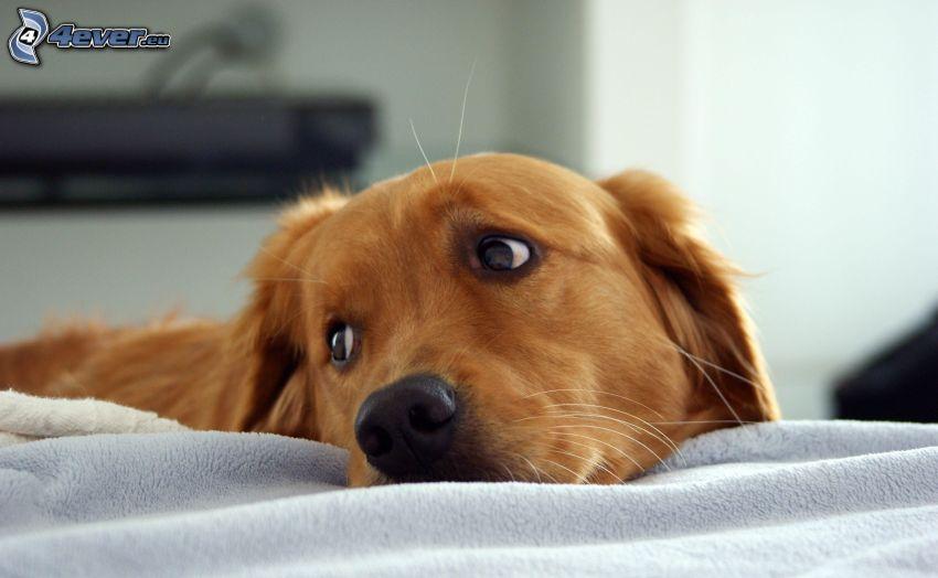 złoty retriewer, smutny pies, psie spojrzenie