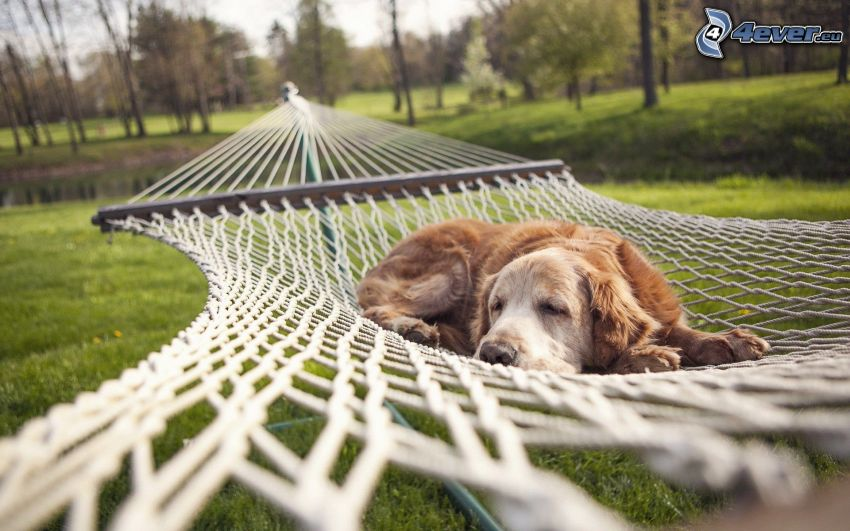 złoty retriewer, śpiący pies, hamak